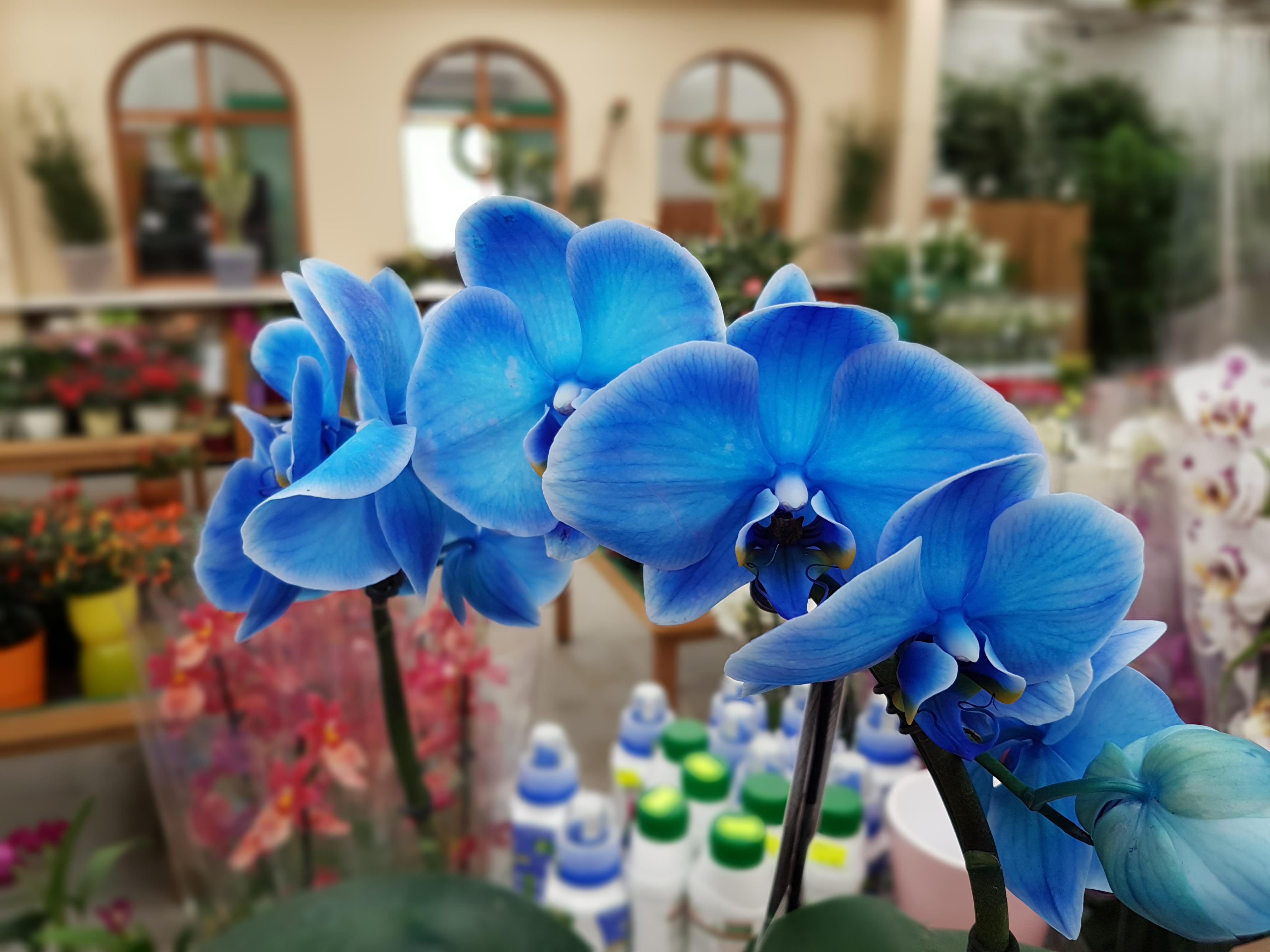 Jakie Niebieskie Kwiaty Doniczkowe Tomaszewski